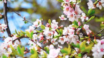cerisier fleurs