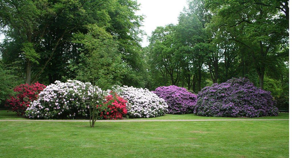 jardin Rhododendron
